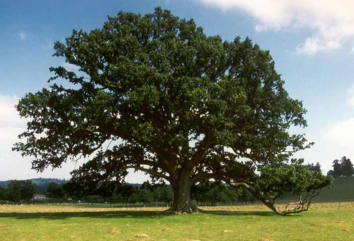 Eiken boomstamtafel